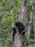 Urso preto e Cub da mamãe Fotografia de Stock
