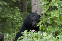 Urso preto em flores cor-de-rosa Foto de Stock Royalty Free