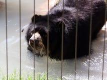 Urso preto em um jardim zoológico Fotografia de Stock