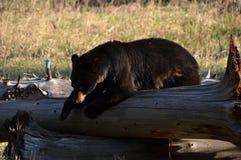 Urso preto em um registro Imagens de Stock Royalty Free