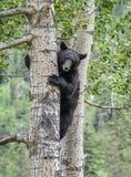 Urso preto em uma árvore Imagens de Stock