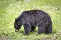 Urso preto em Yellowstone Imagens de Stock Royalty Free