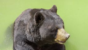 Urso preto enorme imagens de stock royalty free