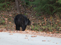 Urso preto fêmea imagem de stock royalty free