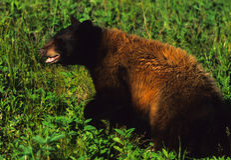 Urso preto grande Imagem de Stock Royalty Free