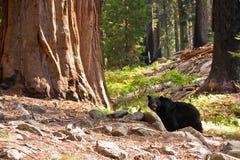 Urso preto na floresta do Redwood imagem de stock royalty free