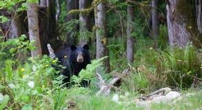 Urso preto na floresta no Columbia Britânica Canadá imagens de stock royalty free