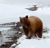 Urso preto na neve Fotografia de Stock