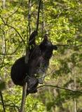 Urso preto na árvore Fotos de Stock