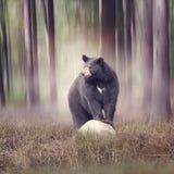 Urso preto nas madeiras Fotos de Stock Royalty Free