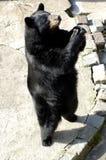 Urso preto no jardim zoológico Fotografia de Stock Royalty Free