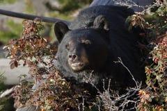 Urso preto no parque nacional de Yellowstone imagem de stock royalty free