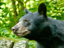 Urso preto no Ridge azul Fotografia de Stock Royalty Free