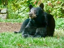 Urso preto no Ridge azul Fotos de Stock