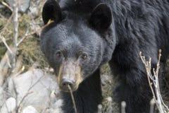 Urso preto no selvagem Fotos de Stock Royalty Free