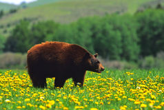 Urso preto nos dentes-de-leão Imagens de Stock