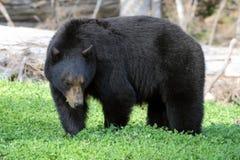 Urso preto que come trevos, assobiador Fotos de Stock