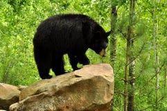 Urso preto que está em uma rocha. Imagem de Stock