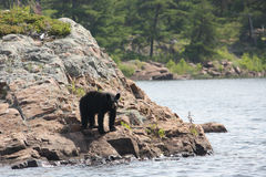Urso preto que está na costa rochosa Foto de Stock