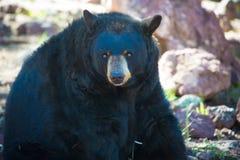 Urso preto que senta-se em um jardim zoológico foto de stock royalty free