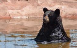 Urso preto que senta-se na água fotos de stock