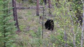 Urso preto selvagem video estoque