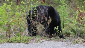 Urso preto selvagem vídeos de arquivo