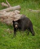 Urso preto (Ursus americano) Fotografia de Stock
