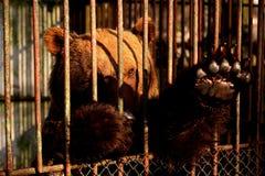 Urso prisioneiro Imagem de Stock