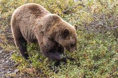 Urso que alimenta na queda fotografia de stock