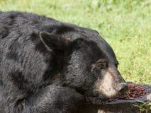 Urso que descansa com o nariz no alimento Fotos de Stock Royalty Free