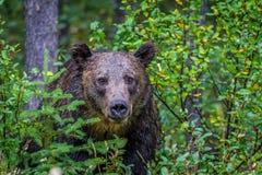 Urso que repica através da escova, parque nacional de Banff, Alberta, Canadá Foto de Stock