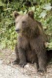 Urso que senta-se na floresta Fotos de Stock Royalty Free