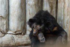 Urso que senta-se para dormir Fotos de Stock