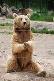 Urso que sittting em um jardim zoológico Imagens de Stock