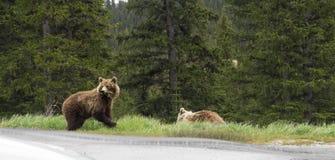 Urso selvagem do urso Foto de Stock