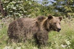 Urso selvagem na floresta Imagens de Stock Royalty Free