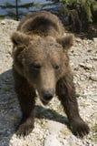 Urso selvagem na floresta Foto de Stock Royalty Free