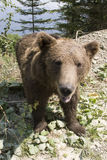 Urso selvagem na floresta Foto de Stock