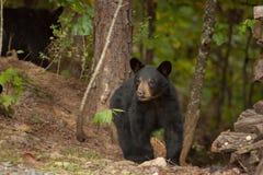 Urso selvagem novo Fotografia de Stock Royalty Free