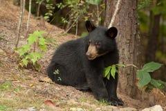 Urso selvagem novo Imagens de Stock Royalty Free