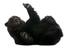 Urso Siberian fêmea, 12 anos velho, encontrando-se Imagens de Stock Royalty Free