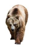 Urso sobre o fundo branco Imagem de Stock
