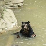 Urso Spectacled que banha-se Fotografia de Stock