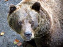 Ursos 15 Fotografia de Stock Royalty Free