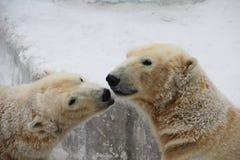 Ursos brancos Imagens de Stock