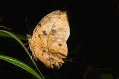 Ursos da borboleta de Leafwing Imagem de Stock