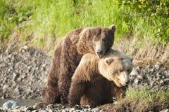 Ursos de acoplamento imagem de stock