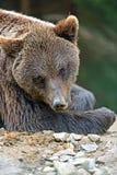 Ursos de Brown Fotografia de Stock