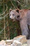 Ursos de Brown Foto de Stock Royalty Free